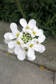 Evergreen candytuft or Perennial candytuft (Iberis sempervirens) — Stock Photo