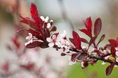 Cherry Plum or Myrobalan Plum (Prunus cerasifera) — Stock Photo
