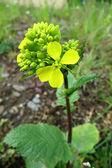 Field Mustard or Charlock (Sinapis arvensis) — Stock Photo