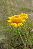 Yellow Chamomile or Golden Marguerite (Cota tinctoria or Anthemi — Foto de Stock