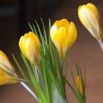 Yellow crocuses — Stock Photo #42410999