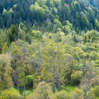 View into lot of green needle and deciduous trees — Stock Photo
