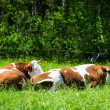 Two cows lying in the grass of meadow — Stock Photo