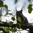 Постер, плакат: Brown squirrel on limb of tree