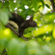 Stock Photo: Brown squirrel with white belly on limb