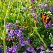 Alpine flowers with admiral butterfly — Stock Photo