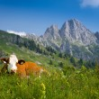 Brown milk cow lying in green meadow — Stock Photo