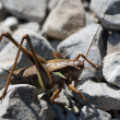 Huge grasshopper — Stock Photo