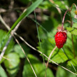 Woodland strawberry — Stock Photo
