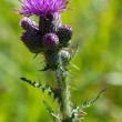 Front view of common thistle — Stock Photo