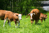 Brown cows walking toward in fresh green meadow — Foto de Stock