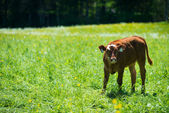 Young brown cow standing in meadow — Stock Photo