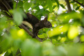 Brown squirrel with white belly on limb — Stock Photo