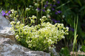 Chamois cress, small tufted perennial herb of mountains — Stock Photo