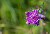 Cirsium vulgare common thistle — Stock Photo