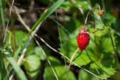 Woodland strawberry — Foto de Stock