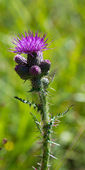 Front view of common thistle — Stock fotografie
