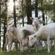 A herd of sheep standing on hill while grazing — Stock Photo