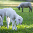 Two very young lambs grazing at meadow with mother in background — Stock Photo