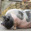 Pink and black speckled pot-bellied pig stands in front of  dungheap — ストック写真