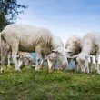 Some sheep graze at hill one with view into the camera — Stock Photo