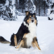 Playful border collie husky crossbreed dog sits in snow in winter — Stock Photo #34829297