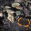 Admiral Vanessa atalanta butterfly sitting on bottom between leafes — Stock Photo