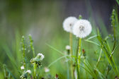Common dandelion midden in green grass stands for hope and aspiration — Stock Photo