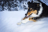 Running border collie dog jumps over snow hump — Stock Photo