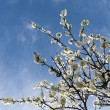 Stock Photo: White blossoms on perch of the plum tree blooming at spring with blue cloudy sky