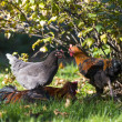 Hen and cock meets under bush and fresh green grass — Stock Photo