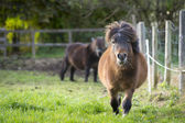 Two pony one running toward at fresh green meadow with fence — Stock Photo