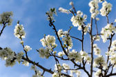 Blooms of damson on roots at spring with blue sky — Stock Photo
