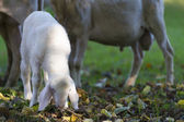Small young white lamb graze at fall meadow — Stock Photo