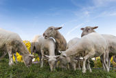 A herd of sheeps browse and eat fresh grass with blue sky — Stock Photo