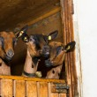 Three young goats looking out of their wooden barn box — Stock Photo