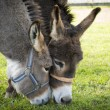 Two donkeys eating grass with heads touching each other — Stock Photo