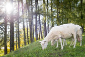 Sheep graze at hill with forest in back and sun back light — Stock Photo