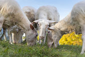 Several sheep graze with closeup head and looks into camera — Stock Photo
