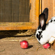 White and black dotted rabbit eats an red apple at his hutch — Stock Photo