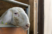 White sad dirty sheep looks out of his barn wants to get away out — Stock Photo