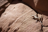 Cheeky lizard on red sandstone rock — Foto de Stock