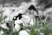 Skull of reptile lying in snow and green grass — Stock Photo