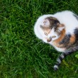 Top view of house calico cat sitting in fresh green grass — Stock Photo #47225341