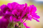 Pink bloosom of a balcony cranesbill geranium with water drops — Stock Photo