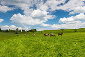 High grass meadow with grazing cows at sunny springtime day — Stock Photo