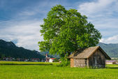 Big lime tree with old wooden hut at meadow in rural village scene — Stock Photo