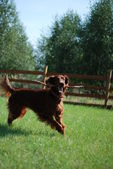 Happy irish setter — Stock Photo