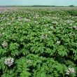 Potatoes in flowers in field — Stock Photo #36065865