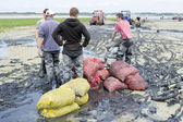 Gathering seafood by hand in the Authie bay (France) — Stock Photo